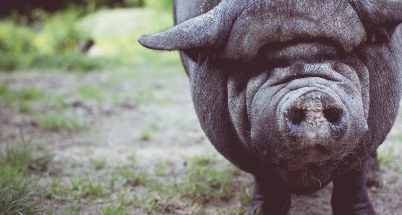 cochon noir